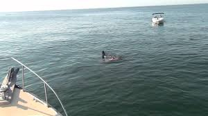 great white shark attacks seal off chatham ma 8 22 12 youtube