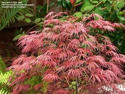71 best japanese maples images on acer palmatum