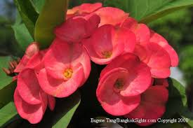plants in thailand euphorbia milli or crown of thorns lucky