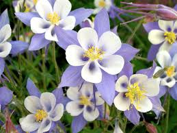 columbine flowers name wallpaper related keywords suggestions name