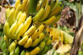 Tiny Banana Indoor Banana Plant How To Grow Banana Inside