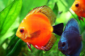 beautiful ornamental fish discus fish the king of aquarium