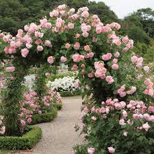 Fragrant Climbing Plants - fragrant english roses david austin roses