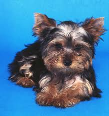 pictures of puppy haircuts for yorkie dogs yorkshire terrier hairstyles dummies
