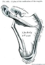 Supraglenoid Tubercle Scapula Prohealthsys
