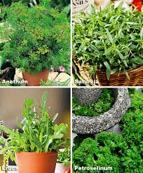 Kitchen Herb by Buy Herb Seed Now Seed Pads Kitchen Herbs Bakker Com
