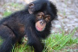 orphaned chimpanzee ruben finds new home surrogate mother at