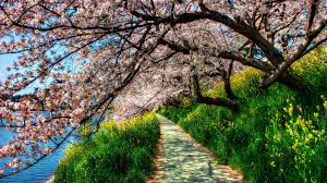 blossom trees cherry blossom trees wallpaper 4k