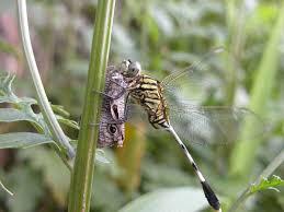 dragonfly butterfly jpg photo lien vu photos at pbase com