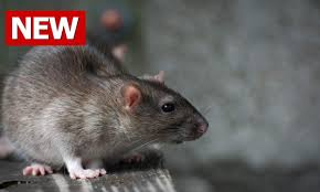 how to get rid of rats how to kill rats how to kill a rat how