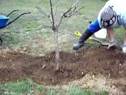 Transplant Fruit Trees - tree transplanting 2 youtube