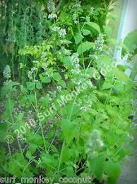 Catnip Flower - catnip plant ebay