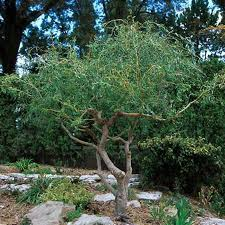 corkscrew willow tree for sale fast growing trees com