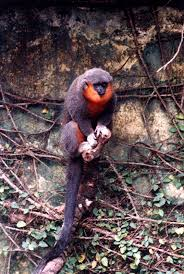 shukernature xenothrix a mystery monkey from jamaica