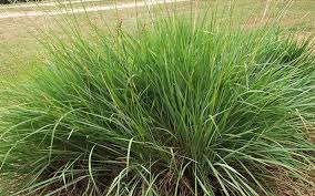 fakahatchee ornamental grass for sale fort myers
