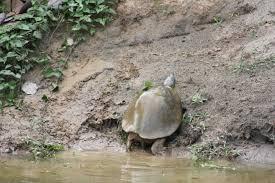 by region turtle survival alliance tsa