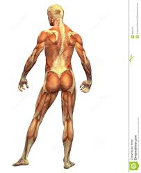 Human Body Muscles Images Human Body Muscle Male Back Royalty Free Stock Photo Image