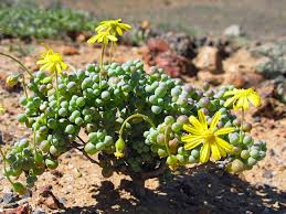 Succulent Rock Garden by How To Grow And Care For Othonna Othonnas Fleshy Leaves And Daisy