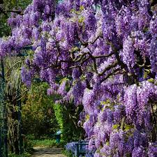 wisteria sinensis australian bush flower purple wisteria for sale online the tree center