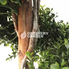 Preserved Boxwood Topiary Trees 5ft Preserved Artificial Boxwood Topiary Spiral Tree Fire