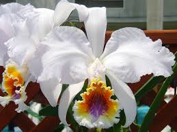 cattleya orchids cattleya