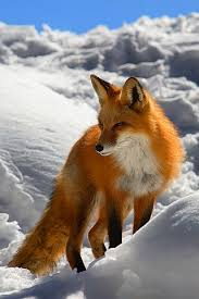sleeping red fox wallpapers 101 best fox images on pinterest wild animals baby foxes and