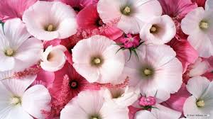 Nice Flower Picture - beautiful flowers wallpaper free download on wallpaperget com