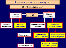 Ans Anatomy And Physiology Autonomic Nervous System U2013 Howmed
