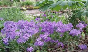 native iowa plants phlox divaricata woodland phlox wild blue phlox wild sweet william