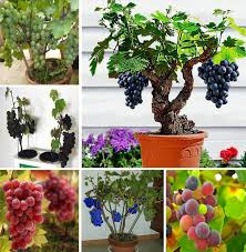 miniature grape vine seeds patio syrah vitis vinifera houseplant