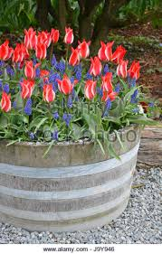 wooden barrel planter stock photos u0026 wooden barrel planter stock