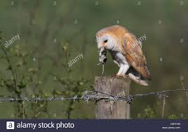 A Barn Owl Tyto Alba Eating A Water Shrew Neomys Fodiens Stock