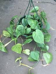 philodendron cordatum westlake nursery