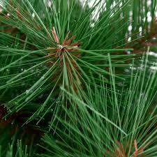 needle pine tree with burlap base 30cm time uk