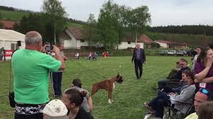 boxer dog european central european boxer show 17 04 2016 best in show youtube
