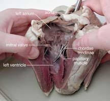 Sheep Heart Anatomy Quiz Sheep Heart Dissection Guide With Pictures