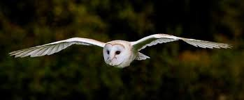 What Does A Barn Owl Look Like Facts About Owl Pellets All About Owls Pellet Com Blog