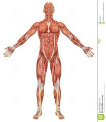 Human Anatomy Male Muscle Anatomy Free Download Tag Muscle Anatomy 3d Free Download