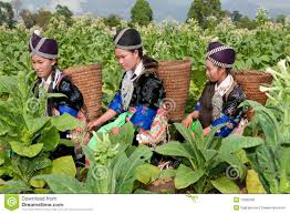 Hmong Map Hmong Of Asia Harvest Tobacco Stock Photo Image 13260306