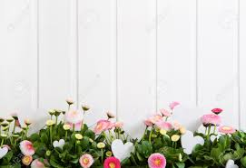 daisy pink spring time flowers on white wooden background for