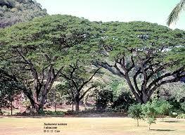 uh mānoa namesake trees