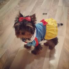 my 15 week old yorkie is going as snow white for halloween aww