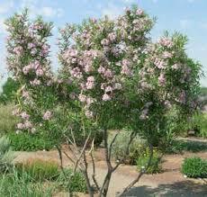 shrub and tree seeds c11 chorizema dicksonii yellow eyed pea