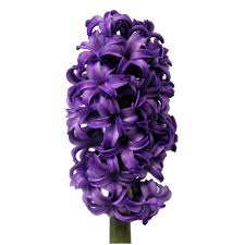 hyacinth flower purple hyacinth flower may to december