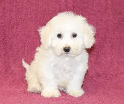 bichon frise breeders in pa colby bichon frise puppy craigspets