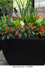 ornamental pepper plant stock photos ornamental pepper plant