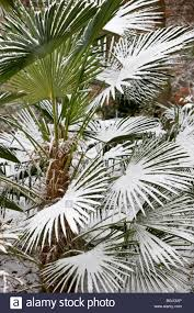 snow covered palm tree in botanical garden in copenhagen stock