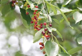 seasonal gardening u2013 california native 100 wild harvests cherry plum an wild plum barbecue sauce