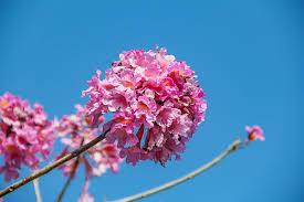 free photo small fresh pink cherry blossom beautiful nature max
