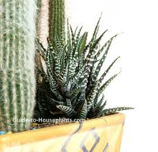 haworthia species easy succulent house plants pictures care tips